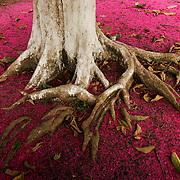 July 28, 2005. Purple flowers of the Jambo tree in Bellterra, Para State, Brazil. ©Daniel Beltra