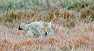 When hunting small animals such as mice, voles and ground squirrels, coyotes slowly stalk through the grass, and use their acute sense of smell and exceptional hearing to track down their prey. When the prey is located, coyotes stiffen and pounce on their prey headfirst into the grass.