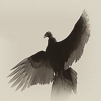 Turkey Vulture Warming in the Morning Sun. Fort Desoto Park in St. Petersburg, Florida. Image taken with a Nikon D300 and 80-400 mm VR lens (ISO 320, 400 mm, f/11, 1/500 sec). Raw image processed with Capture One Pro, and converted to B&W with Nik Silver Efex Pro.