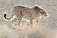 Asiatic cheetah (captive; Koushki), Acinonyx jubatus venaticus, Miandasht Wildlife Reserve, Iran
