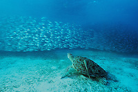 A Green Sea Turtle (Chelonia mydas) appears to watch a school of smooth-tail trevally (Selaroides leptolepis) go past.