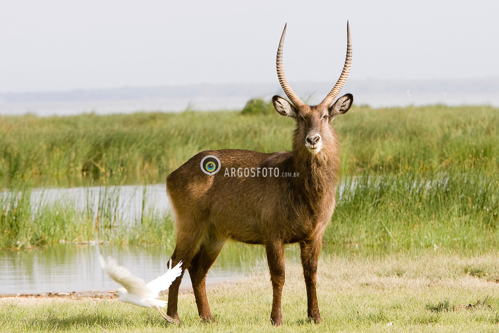 Waterbuk at Lake Nakuru National Park. The Waterbuck (Kobus ellipsiprymnus) is an antelope found in Western, Central Africa, East Africa and Southern Africa.  / O cob-untuoso (Kobus ellipsiprymnus) é uma das espécies de antílopes reduncinídeos mais comuns da África meridional