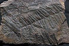 Fossiele varens, fossil ferns