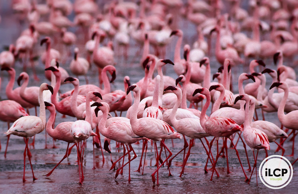 Lesser Flamingos, Lake Magadi, Ngorongoro Conservation Area, Tanzania.