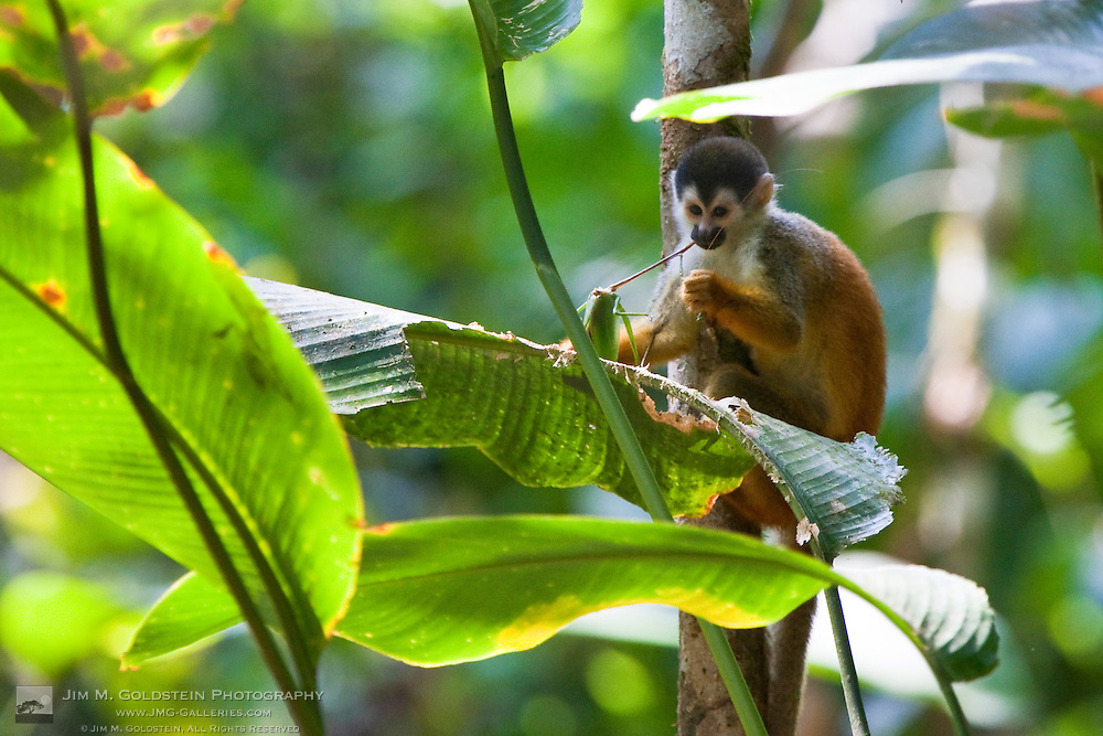 Endangered Black-crowned Central American Squirrel Monkey (Saimiri oerstedii oerstedii) eats a Grasshopper while clinging to a tree branch in the rainforest of Corcovado National Park, Costa Rica