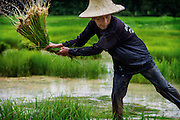 A farmer shakes the excess water from the rice plants he is planting in the fields of central Thailand