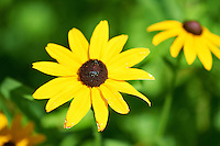 Black Eyed Susan. Summer Wildflowers at the Sourland Mountain Reserve.  Image taken with a Nikon D3s and 105 mm  f/2.8 macro lens + TC-E III 20 teleconverter (ISO 200, 205 mm, f/6.3, 1/500 sec).  Raw image processed with Capture One Pro, Focus Magic, and Photoshop CS5.