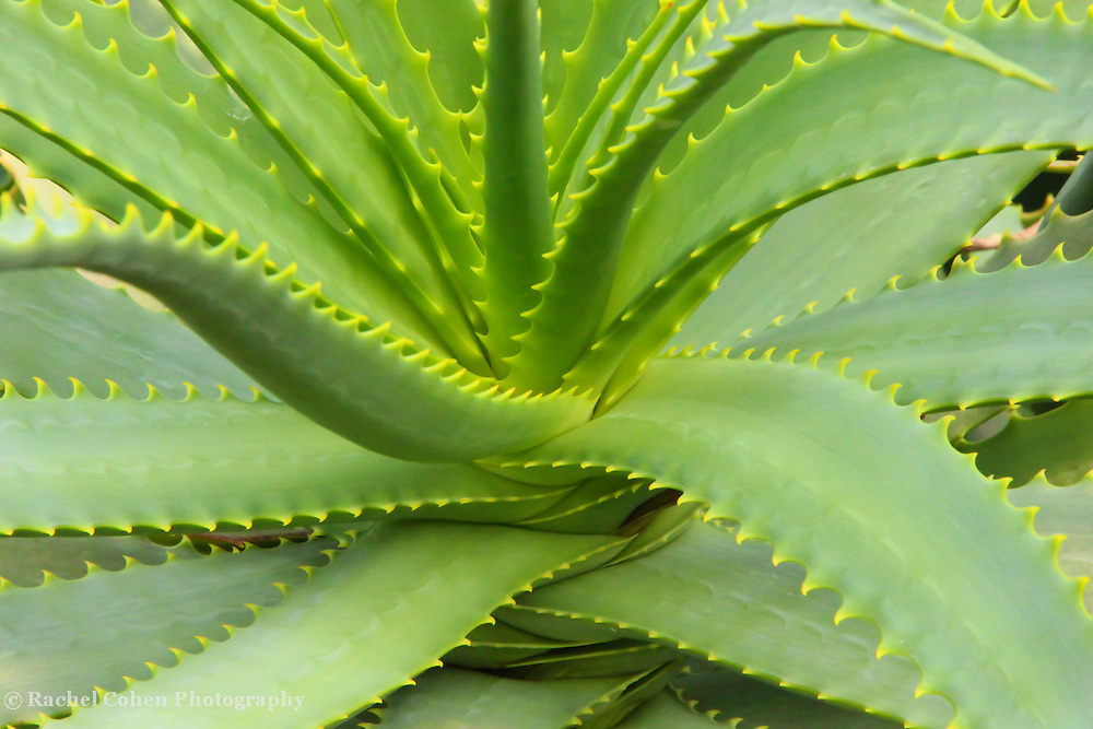 &quot;Aloe Vera Defined&quot;<br /> <br /> A lovely example of the beautiful Aloe Vera plant!!<br /> <br /> Nature of this World by Rachel Cohen