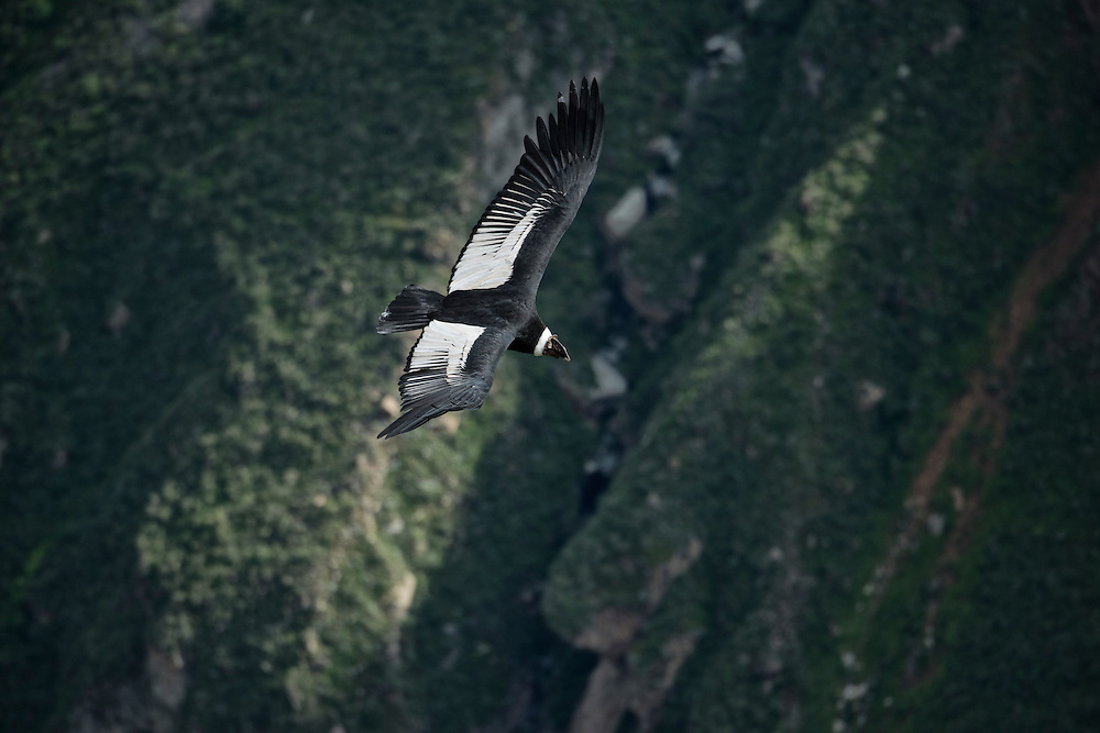 South America; Peru; Colca Canyon, soaring condor