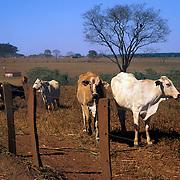 Cattle in pasture in cerrado (savanna) region during dry season, Minas Gerais State, Brazil