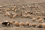 Sheep herd, Miandasht Wildlife Reserve, Iran