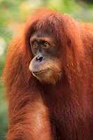 A Sumatran Orang-utan at the Singapore Zoo.