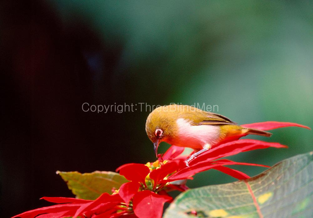 Sri Lanka White-eye, feeding on a Poinsettia flower,Victora park, Nuwara Eliya