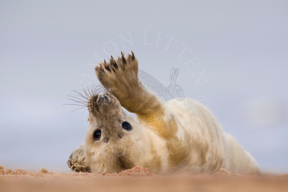 Grey Seal (Halichoerus grypus) whitecoat pup, resting on sandy beach, Norfolk, England.