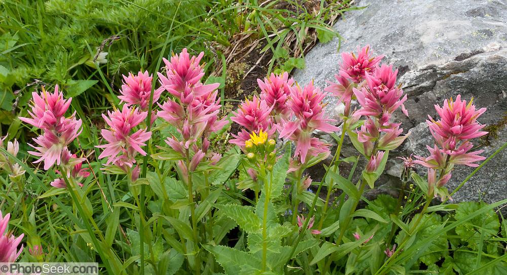 Perennial Grasses For Alberta : Castilleja or indian paintbrush banff national park