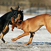 "(DENVER, Co. - Shot 1/13/2005).Tanner (right), a male Vizsla puppy, playing with other dogs at Berkeley Dog Park in Denver, Co. one afternoon. The Vizsla, as described in the American Kennel Club (AKC) standard, is a medium-sized short-coated hunting dog of distinguished appearance and bearing. Robust but rather lightly built; the coat is a golden-rust color. The coat could also be described as a copper/brown color. They are lean dogs, and have defined muscles, and are similar to a Weimaraner. Vizslas are lively, gentle-mannered, loyal, caring and highly affectionate. They quickly form close bonds with their owners, including children. Often they are referred to as ""velcro"" dogs because of their loyalty and affection. They are quiet dogs, only barking if necessary or provoked. They are natural hunters with an excellent ability to take training (American Breed Standard, AKC). Not only are they great pointers, but they are excellent retrievers as well..(Photo by MARC PISCOTTY / © 2005)"