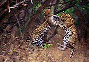Leopard siblings play fighting at Yala National Park, Sri Lanka.