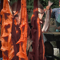 Vera Spein cuts and hangs subsistence caught king salmon at fish camp near the village of Kwethluk, Alaska
