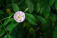 "The pink shrub rose ""Dentelle de Malines"""