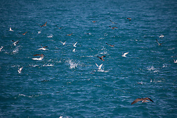 Brown boobies and terns swoop on a school of fish to the south of Adele Island.