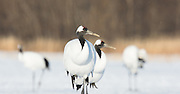 A pair of red-crowned cranes symmetrically looking to the right in Akan, Hokkaido.