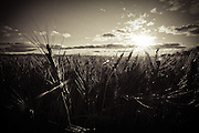 The sun sets behind a golden wheat field, Birch Hills, Saskatchewan.