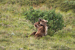 A grizzly bear scratches itself against a small spruce tree as seen from the park road in the Sable Pass area of Denali National Park in Alaska.