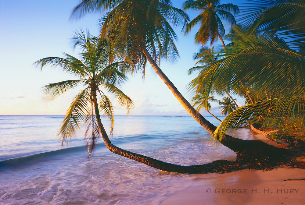 6212-1005C ~ Copyright: George H. H. Huey ~ Pigeon Point with coconut palms [cocos nucifera].  Island of Tobago. Trinidad and Tobago. Caribbean.