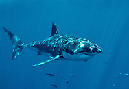 Great White Shark ( Charcaradon carcarias ).Guadalupe Island, Baja California, Mexico, Pacific Ocean.© KIKE CALVO, Isla Guadalupe is located 160 miles off the coast off Baja California and over 220 miles southwest of San Diego in open ocean water that has over 100 feet of visibility. Its rapidly becoming the World's Best Destination to dive with Great White Sharks (Carcharodon carcharias). It hosts one of the most prolific populations of White Sharks on the planet.