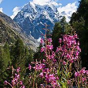 """See Mont Collon (3637 meters or 11,932 feet) and pink fireweed flowers (Epilobium angustifolium) at the head of Val d'Hérens, Arolla village, municipality of Evolène, Valais (or Wallis) canton, Switzerland, on the High Route (Chamonix-Zermatt Haute Route), in the Pennine Alps, Europe. Image was composited from 2 photos to increase depth of focus. Published in Ryder-Walker Alpine Adventures """"Inn to Inn Alpine Hiking Adventures"""" Catalog 2006, 2007, 2008, 2009, 2011, 2012."""