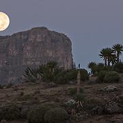 Giant lobelias (Lobelia rhynchopetalum) and moon. Simien Mountains N.P. Ethiopia