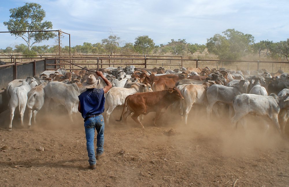 Stockman/Ringer, Adrian Shaw working cattle onto a roadtrain, ready for shipping to Broome from Springvale Station, The Kimberley, Western Australia. 30 June 2006