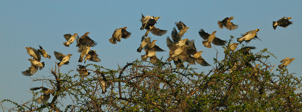 Flock of Wattled Starling (Creatophora cinerea) taking off from the top of a tree against a blue sky, Serengeti National Park, Tanzania, Africa; colony nester; social species; flying