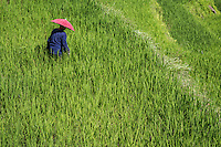 The Ifugao are world famous not only for their rice terraces but rice culture.  Rice requires irrigation, fertility, and constant care and prevention from many pests. A farmer's social status is fixed by the amount of rice he harvests.