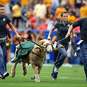 SHOT 9/1/2007 - Colorado State students run Cam the Ram across the field during team introductions before the first half of the Rocky Mountain Showdown against in-state rival Colorado Saturday September 1, 2007 at Invesco Field in Denver, Co. The University of Colorado won the Centennial Cup with a 31-28 overtime victory in the game. Colorado and Colorado State have met 78 times in their histories, but the first 69 took place on their respective campuses. The Colorado Buffaloes are in the Big 12 Conference, while the Colorado State Rams compete in the Mountain West Conference..(Photo by Marc Piscotty © 2007)