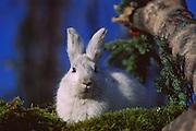 Alaska. Denali NP. Snowshoe hare (Lepus americanus).