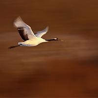 Red-crowned crane in flight, Hokkaido, Japan