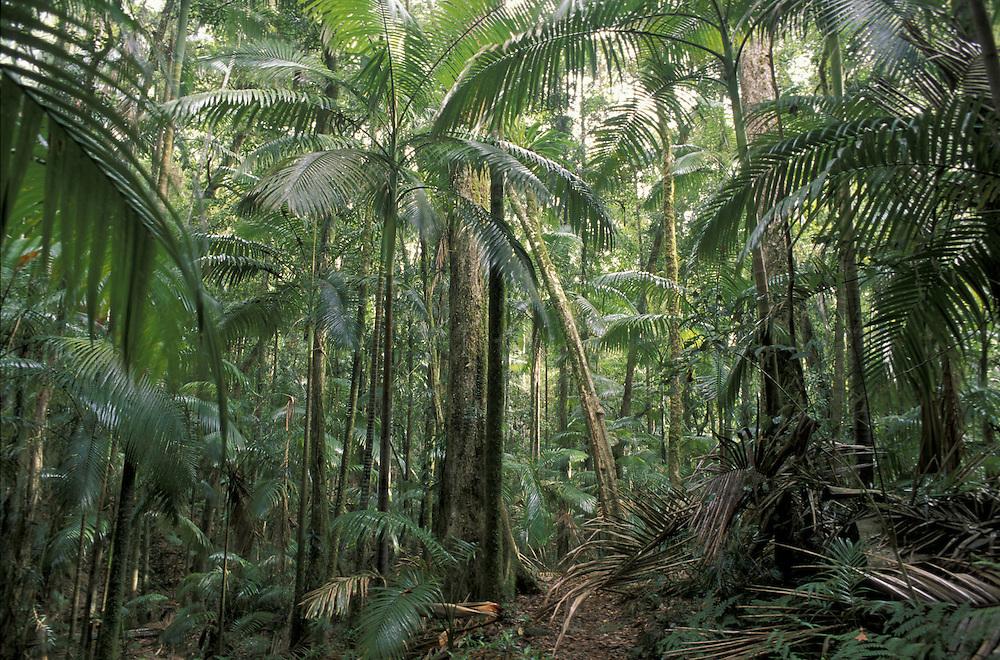 Palm Grove Forest.Eungella National Park.Queensland.Australia