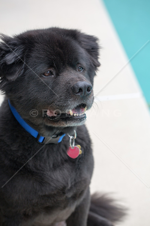 black chow labrador rob lang images licensing and