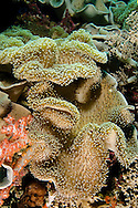 Leather Coral, Sacrophyton trocheliophorum, Bali Indonesia