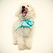 Bogey the poodle waits to be adopted at the Sacramento City Animal Shelter.