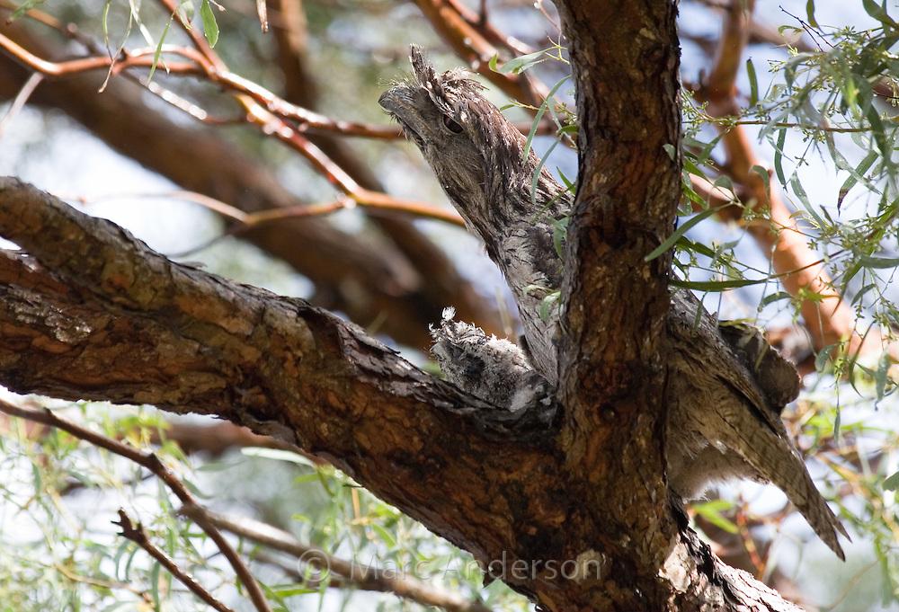 Tawny Frogmouth (Podargus strigoides) and chick on nest, Royal National Park, Sydney, Australia