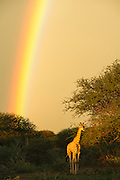 Giraffe (Giraffa camelopardalis) &amp; rainbow<br /> Marataba, A section of the Marakele National Park<br /> Limpopo Province<br /> SOUTH AFRICA<br /> RANGE: Savanna regions in scattered isolated pockets of Sub-Saharan Africa.