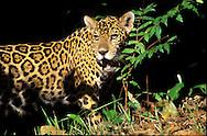 El jaguar, yaguar o yaguaret&eacute;N 1 (Panthera onca) es un carn&iacute;voro f&eacute;lido de la subfamilia de los Panterinos y g&eacute;nero Panthera y la &uacute;nica de las cuatro especies actuales de este g&eacute;nero que se encuentra en Am&eacute;rica. <br /> <br /> El h&aacute;bitat de P. onca incluye las selvas h&uacute;medas de Centro y Sudam&eacute;rica, zonas h&uacute;medas abiertas y de forma estacional inundadas, y praderas secas. De entre estos h&aacute;bitats, prefiere el bosque denso;42 este f&eacute;lido ha perdido terreno m&aacute;s r&aacute;pidamente en las regiones m&aacute;s secas, como la pampa argentina o las praderas &aacute;ridas de M&eacute;xico y el suroeste de los Estados Unidos.1 Puede vivir en bosques tropicales, subtropicales y caducifolios secos.<br /> <br />  Est&aacute; estrechamente relacionado con el agua y a menudo prefiere vivir al lado de r&iacute;os, pantanales y selvas densas con mucha vegetaci&oacute;n que le permiten asediar a sus presas.<br /> Las poblaciones de este gran f&eacute;lido se encuentran actualmente en declive.  El animal est&aacute; catalogado como especie casi amenazada por la Uni&oacute;n Internacional para la Conservaci&oacute;n de la Naturaleza (UICN), lo que quiere decir que podr&iacute;a estar amenazado de extinci&oacute;n en un futuro pr&oacute;ximo.<br /> &copy;Alejandro Balaguer/Fundaci&oacute;n Albatros Media.