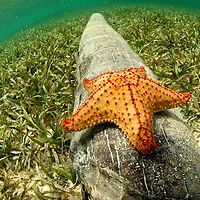 Seastar on a tree log.  San Blas Islands.