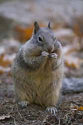 A California grey squirrel eats in preperation for the upcoming winter in Yosemite National Park, California.
