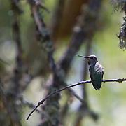 An Anna's Hummingbird guards his territory.