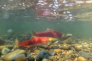 Two sockeye salmon (Oncorhynchus nerka), showing their red breeding coloration, swim up the Cedar River in Renton, Washington toward their spawning grounds. Sockeye salmon are blue-tinged and silver when they live in the ocean; their bodies turn red and their heads green when they return to freshwater rivers to spawn.