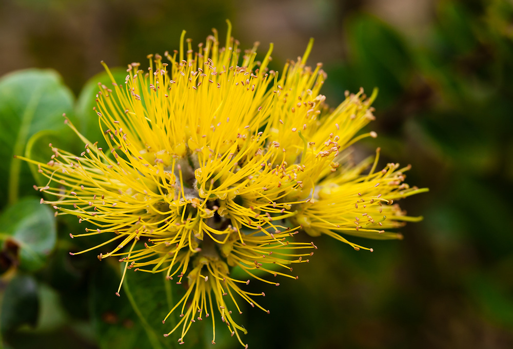 Macro shot of a yellow blossomed Ohi'a lehua (Metosideros polymorpha) upcountry Maui.