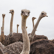 Ostriches on an ostrich farm near De Hoop Nature Reserve. Western Cape. South Africa.